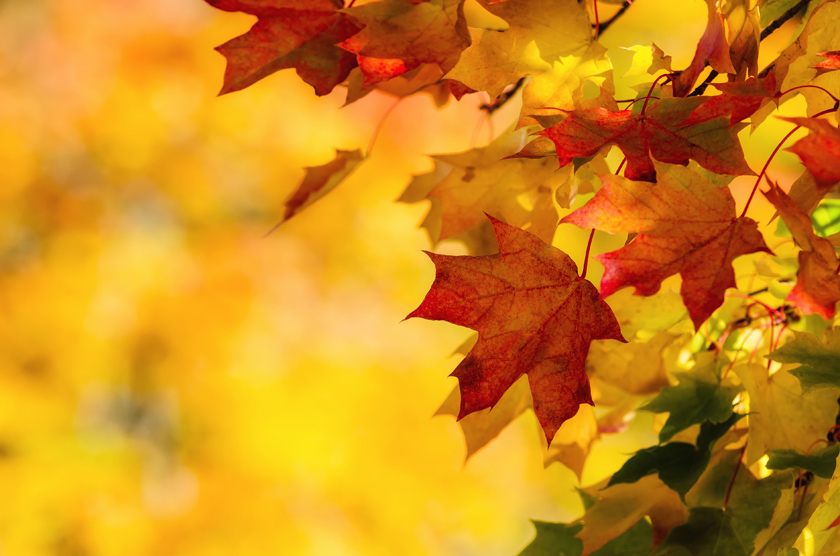 Colorful autumn maple leaves on a tree branch. Yellow autumn leaves background with copy space.
